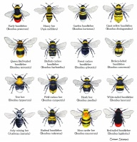 bumblebees_of_the_british_isles