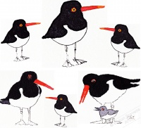oystercatcher_family